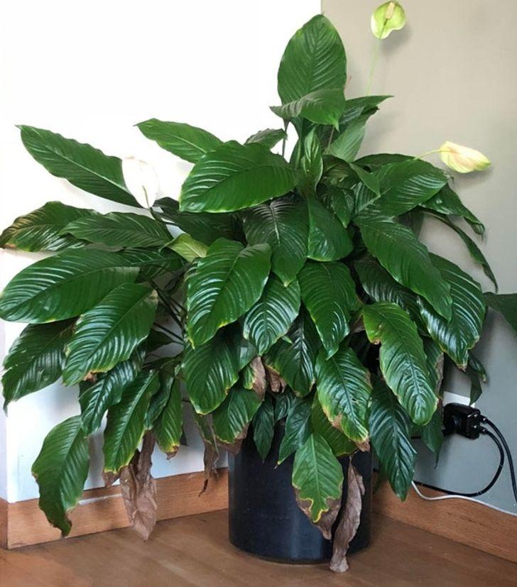 15 cây lọc không khí cực hiệu quả, nhà có người bị dị ứng càng nên trồng - Ảnh 1.