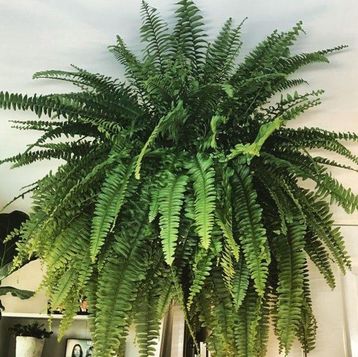 15 cây lọc không khí cực hiệu quả, nhà có người bị dị ứng càng nên trồng - Ảnh 6.
