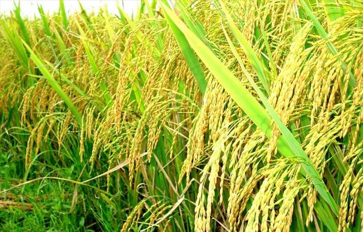 Giá lúa gạo hôm nay 22/6: Gạo nguyên liệu quay đầu tăng nhẹ - Ảnh 1.