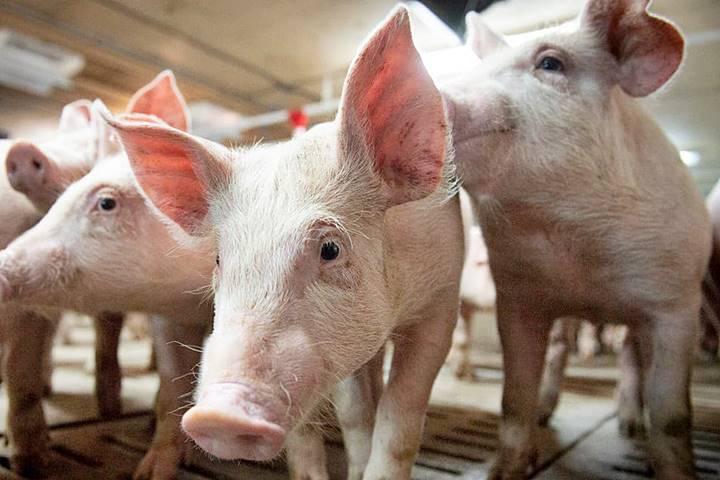 Giá lợn hơi ngày 30/7: Giảm nhẹ 1.000 - 2.000 đồng tại miền Bắc và miền Trung - Ảnh 1.