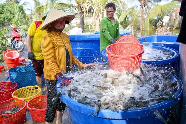 Kiên Giang: Mãn nhãn cảnh người dân thu hoạch tôm càng xanh - Ảnh 5.