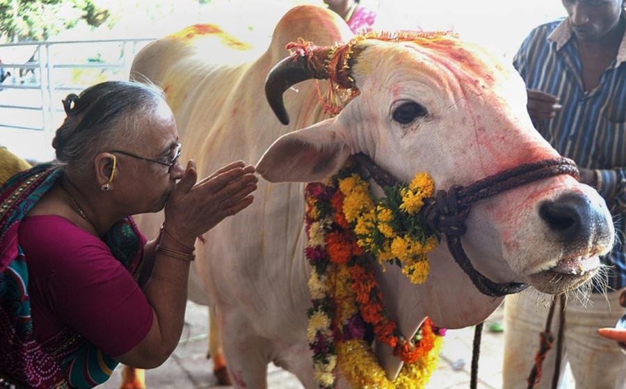 """Bất chấp những cảnh báo, nghị sĩ Ấn Độ tuyên bố: """"Tôi uống nước tiểu bò mỗi ngày để phòng COVID-19"""""""