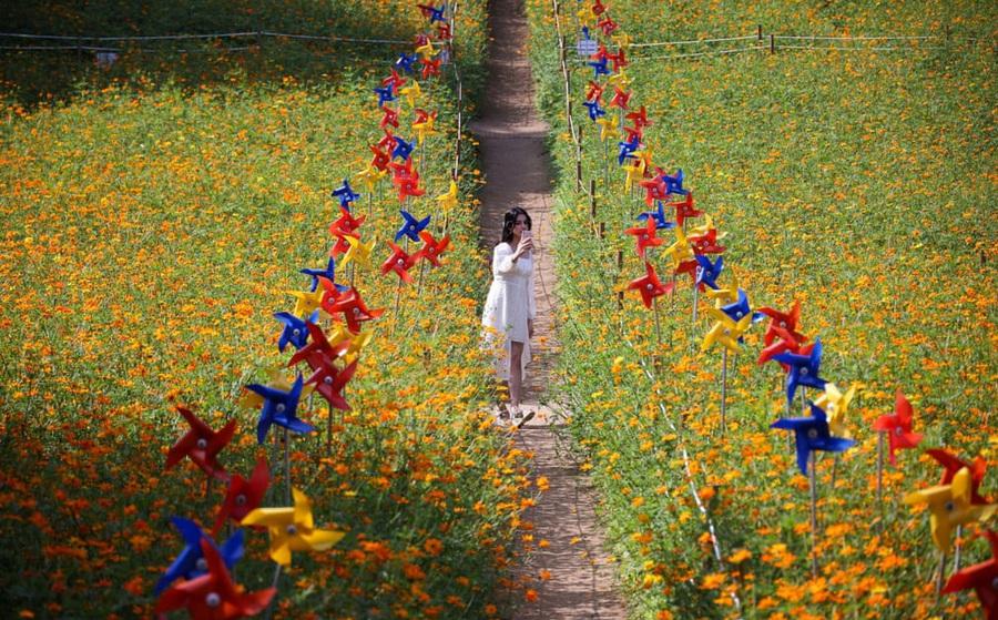 24h qua ảnh: Thiếu nữ chụp ảnh trên cánh đồng hoa cánh bướm