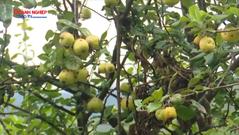 Bài toán cho sản phẩm Táo Sơn Tra ở huyện Bắc Yên