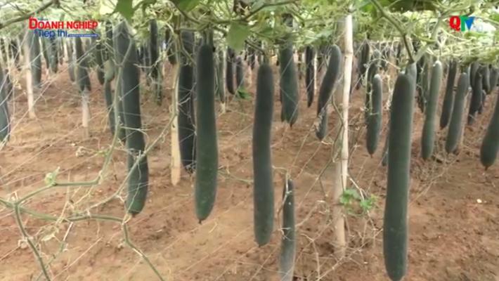 Mô hình trồng cây Bí đao xanh mang lại hiệu quả kinh tế ở huyện Quỳnh Nhai